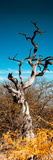 Awesome South Africa Collection Panoramic - Dead Tree II Papier Photo par Philippe Hugonnard