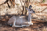 Awesome South Africa Collection - Nyala Antelope