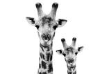 Safari Profile Collection - Portrait of Giraffe and Baby White Edition VI