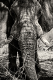Awesome South Africa Collection B&W - Elephant Portrait VIII