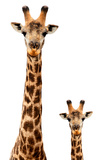 Safari Profile Collection - Giraffe and Baby White Edition