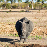 Awesome South Africa Collection Square - Black Rhino