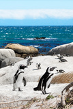 Awesome South Africa Collection - African Penguins at Boulders Beach XII
