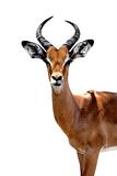 Safari Profile Collection - Antelope White Edition II