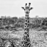 Awesome South Africa Collection Square - Portrait of Giraffe BW