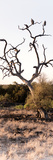 Awesome South Africa Collection Panoramic - Cape Vulture on a Tree