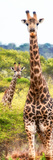 Awesome South Africa Collection Panoramic - Two Giraffes Portrait II