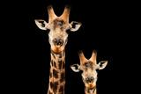 Safari Profile Collection - Portrait of Giraffe and Baby Black Edition V