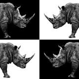 Safari Profile Collection - Rhinos II