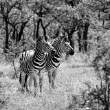 Awesome South Africa Collection Square - Two Common Zebras B&W
