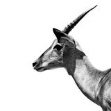 Safari Profile Collection - Antelope Impala White Edition III