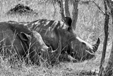 Awesome South Africa Collection B&W - Two White Rhino slepping
