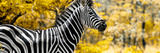 Awesome South Africa Collection Panoramic - Close-Up of Zebra with Yellow Savanna
