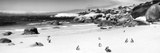 Awesome South Africa Collection Panoramic - Penguins at Boulders Beach B&W