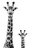 Safari Profile Collection - Giraffe and Baby White Edition II