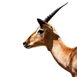 Safari Profile Collection - Antelope Impala White Edition IV
