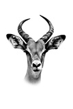 Safari Profile Collection - Antelope Portrait White Edition