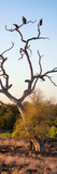Awesome South Africa Collection Panoramic - Cape Vulture Tree at Sunset II