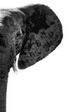 Safari Profile Collection - Elephant White Edition IV