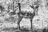 Awesome South Africa Collection B&W - Impala Antelope Portrait