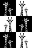 Safari Profile Collection - Two Giraffes
