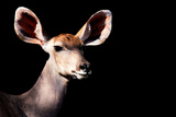 Safari Profile Collection - Antelope Impala Portrait Black Edition