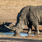 Awesome South Africa Collection Square - Black Rhino drinking from pool of water at Sunset