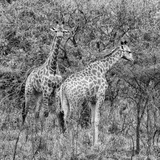 Awesome South Africa Collection Square - Two Giraffes B&W