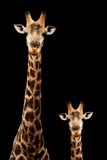 Safari Profile Collection - Giraffe and Baby Black Edition
