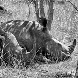 Awesome South Africa Collection Square - Two White Rhinos B&W Papier Photo par Philippe Hugonnard