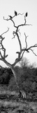 Awesome South Africa Collection Panoramic - Cape Vulture Tree II B&W