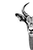 Safari Profile Collection - Antelope Face White Edition