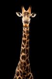 Safari Profile Collection - Giraffe Black Edition VII