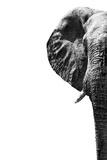 Safari Profile Collection - Elephant White Edition III