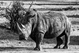 Awesome South Africa Collection B&W - White Rhinoceros