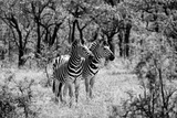 Awesome South Africa Collection B&W - Two Zebras