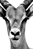 Safari Profile Collection - Portrait of Antelope White Edition