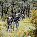Awesome South Africa Collection Square - Two Common Zebras