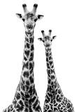 Safari Profile Collection - Two Giraffes White Edition II