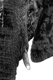 Safari Profile Collection - Portrait of Elephant White Edition Papier Photo par Philippe Hugonnard