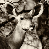 Awesome South Africa Collection Square - Impala Portrait III
