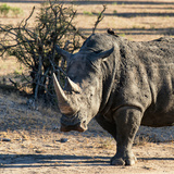 Awesome South Africa Collection Square - Portrait of a Rhinoceros at Sunset
