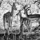 Awesome South Africa Collection Square - Impala Family B&W