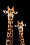 Safari Profile Collection - Portrait of Giraffe and Baby Black Edition III
