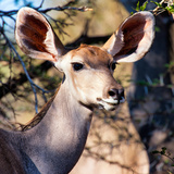 Awesome South Africa Collection Square - Impala Portrait II