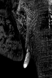 Safari Profile Collection - Portrait of Elephant Black Edition Papier Photo par Philippe Hugonnard