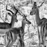 Awesome South Africa Collection Square - Impala Family II B&W