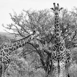 Awesome South Africa Collection Square - Look Giraffes II B&W