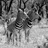 Awesome South Africa Collection Square - Two Burchell's Zebras B&W Papier Photo par Philippe Hugonnard