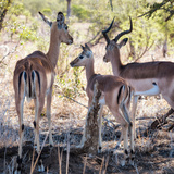 Awesome South Africa Collection Square - Impala Family